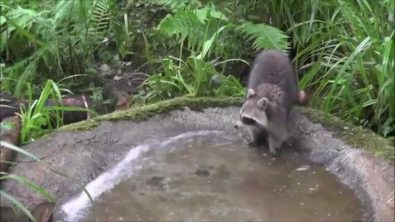 even-raccoons-need-to-cool-off-in-the-summer