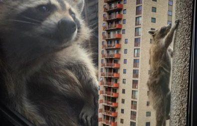 the-mprraccoon-story-of-a-building-climbing-raccoon