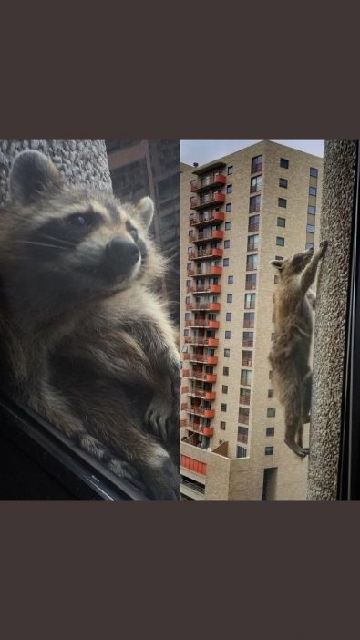 the-mprraccoon-story-of-a-building-climbing-raccoon