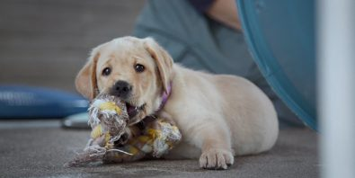 new-documentary-follows-5-puppies-and-their-quest-to-be-guide-dogs-for-the-blind