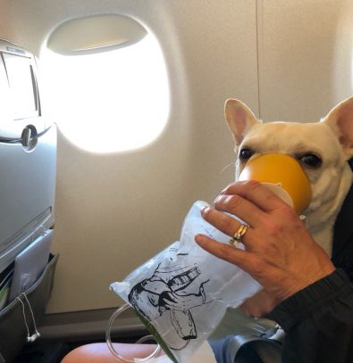 flight-attendants-save-a-french-bulldogs-life-with-oxygen-mask