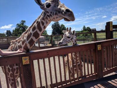 april-the-giraffe-has-a-special-announcement