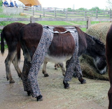 were-you-aware-that-donkeys-wear-trousers-some-do