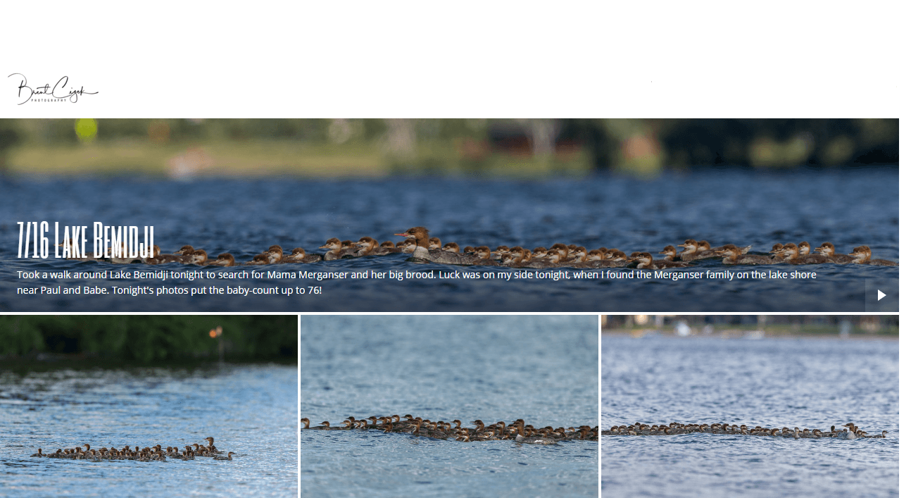one-mother-duck-caring-for-76-ducklings