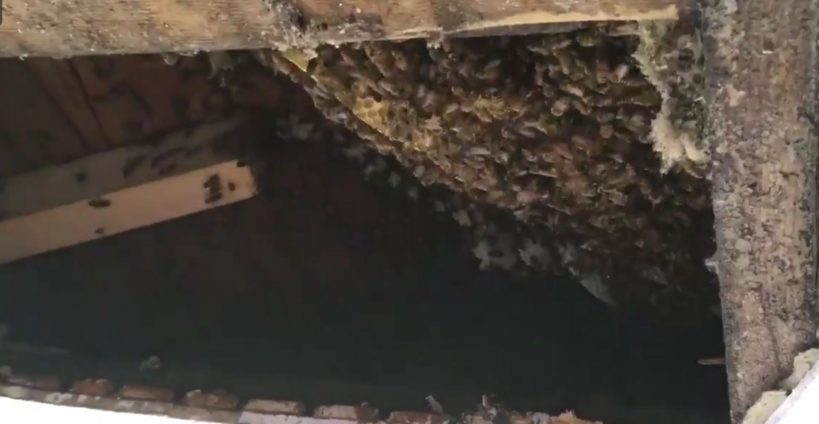 woman-finds-40000-bees-in-her-house