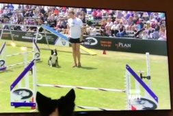 kirk-a-female-border-collie-watching-herself-win-the-2017-purina-pro-challenge