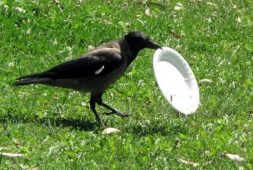 crows-have-been-trained-to-pick-up-trash-at-a-french-park