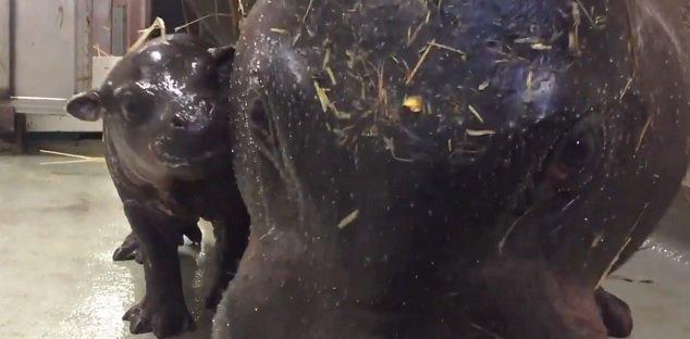 toronto-zoo-celebrates-birth-of-rare-pygmy-hippo