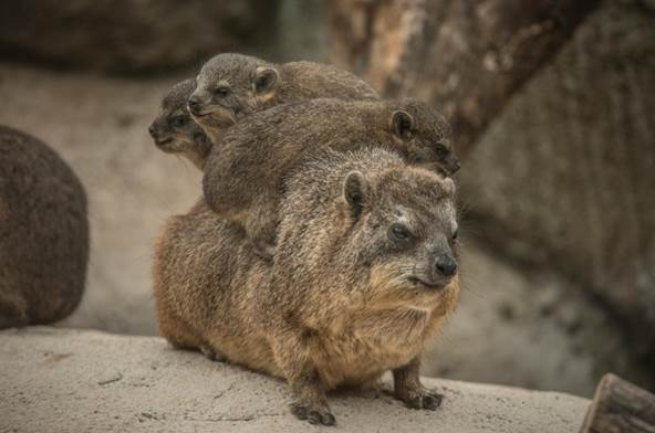 baby-rock-hyraxes-make-their-first-appearance-at-chester-zoo