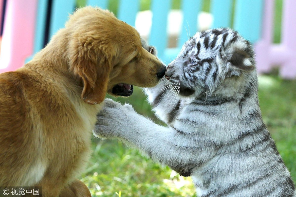 golden-retriever-puppies-make-friends-with-a-baby-white-tiger