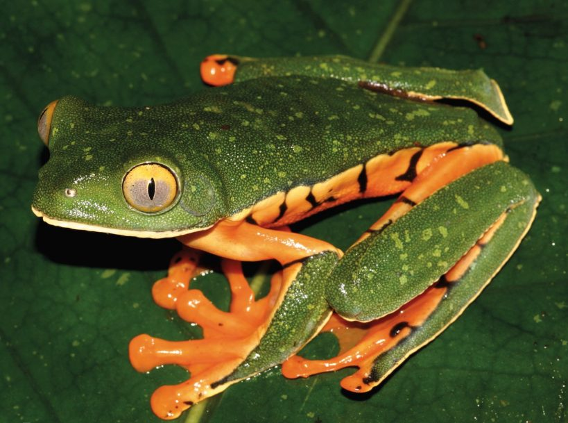 newly-identified-species-of-frog-named-after-3-year-old-girl-%f0%9f%90%b8