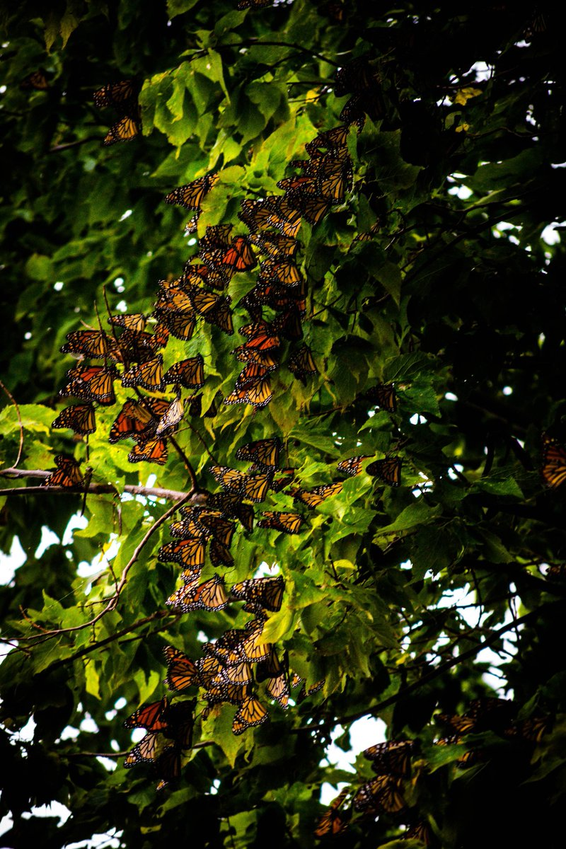 thousands-of-butterflies-flock-to-a-canadian-park-on-their-way-to-mexico