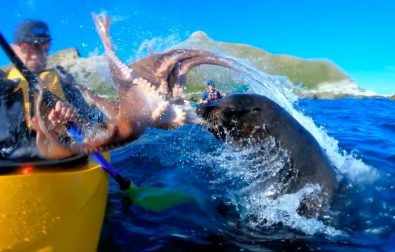 seal-decides-to-throw-an-octopus-at-photographer