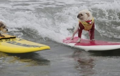 enjoy-these-photos-of-dogs-at-a-surfing-contest-%f0%9f%8f%84