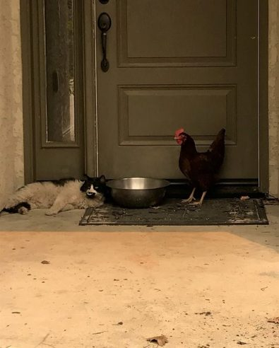 cat-and-chicken-found-huddled-together-after-california-fire