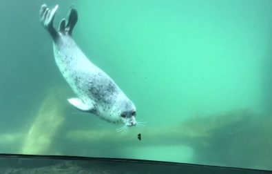 seal-meets-a-butterfly-and-is-amazed