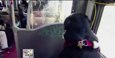 eclipse-the-dog-rides-the-bus-by-herself-to-the-dog-park