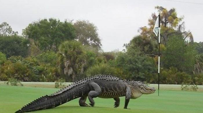 chubbs-the-giant-alligator-is-developing-his-own-mythos-in-florida-and-beyond-%f0%9f%90%8a