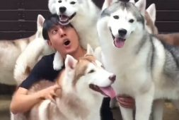 this-husky-cafe-is-a-dog-lovers-dream-%f0%9f%90%be
