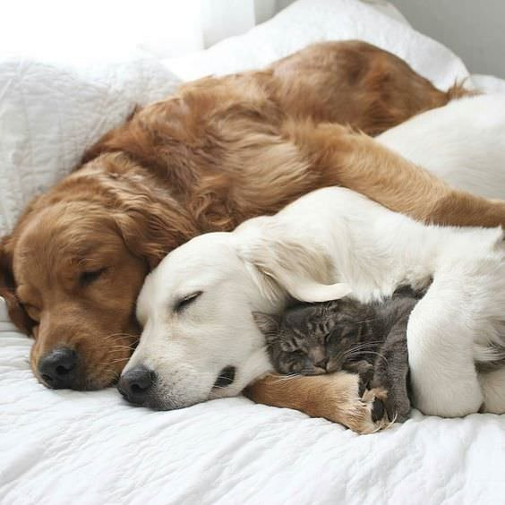 A dog getting hugged by his therapy dog while hugging a kitten.