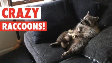 raccoons-are-just-wild-cats