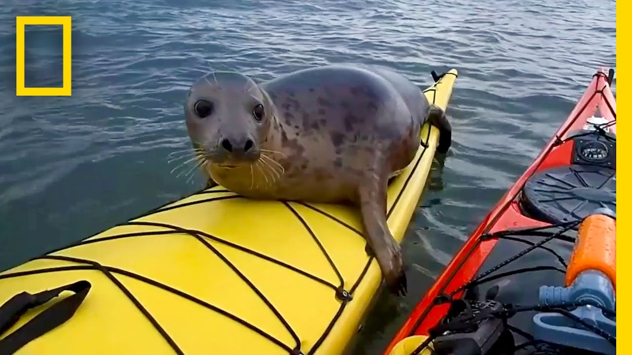 Seal Joins A Couple On A Kayak Ride 🚣🏻‍♀️