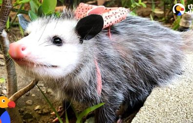 starfish-the-possum-loves-people-and-rescuing-other-animals