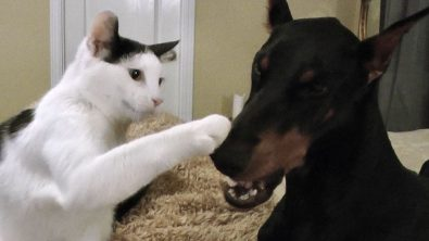 pancake-the-kitten-loves-his-doberman