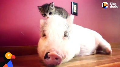 pig-thinks-he-is-a-cat