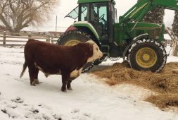 bull-has-fun-with-winter-bedding