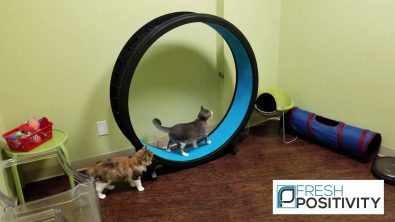 cats-enjoying-a-cat-running-wheel-treadmill-at-cat-cafe