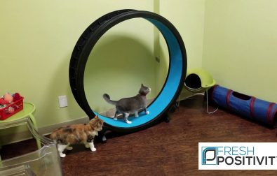 cats-enjoying-a-cat-running-wheel-treadmill-at-cat-cafe