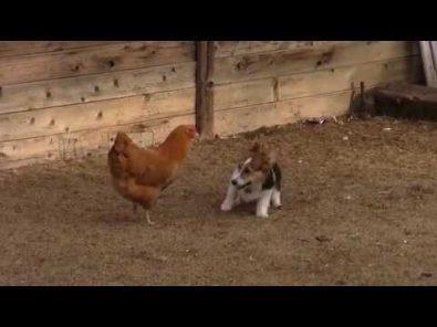 corgi-versus-chicken-in-inter-species-playtime