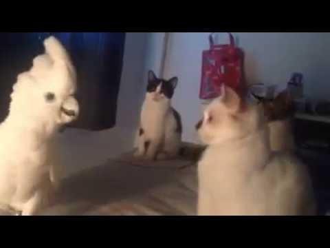 Cockatoo Meows Like A Kitten