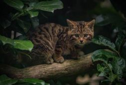 scottish-wildcat-aka-britains-rarest-mammal-born-at-uk-zoo-%f0%9f%90%88