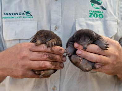 baby-echidnas-or-puggles-were-hatched-in-australias-taronga-zoo