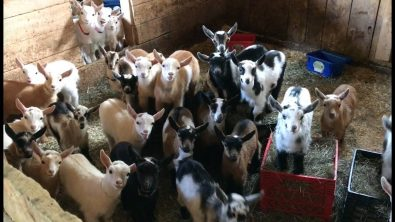 life-is-never-dull-when-you-have-53-baby-goats