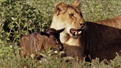 moms-united-baby-wildebeest-treats-lioness-like-mom