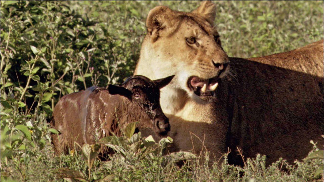 Moms United - Baby Wildebeest Treats Lioness Like Mom