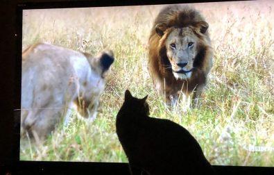 little-lions-enjoy-dynasties-on-bbcamerica