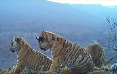 rare-footage-shows-tiger-cubs-playing-in-russia