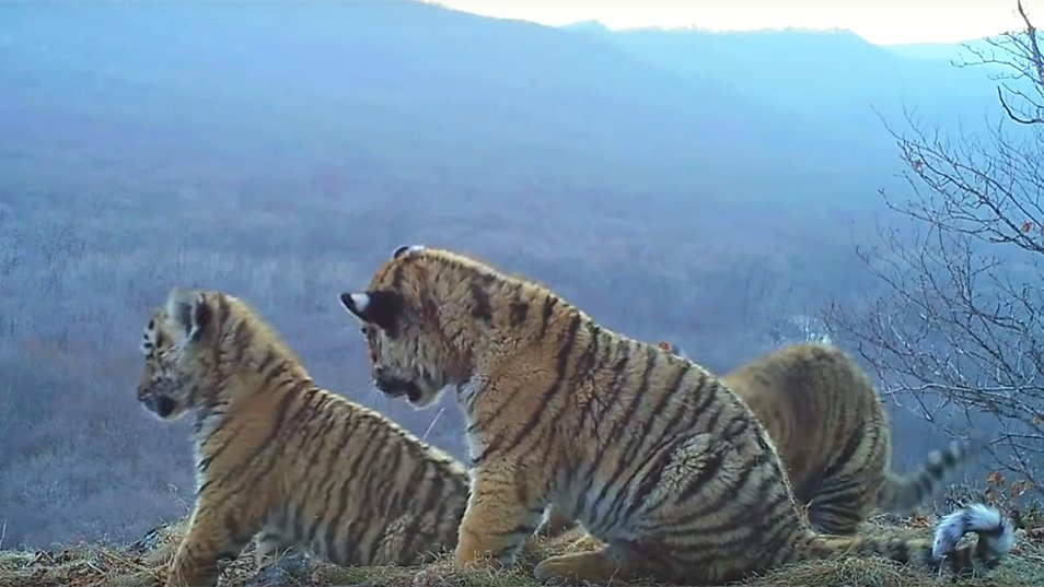 Rare Footage Shows Tiger Cubs Playing In Russia