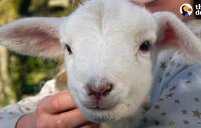 hyper-little-lamb-is-his-human-dads-adopted-son