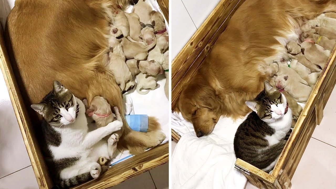 Cat Comforts Her Dog Best Friend's New Puppies