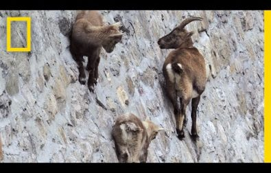 amazing-footage-of-goats-climbing-on-a-near-vertical-dam-wall