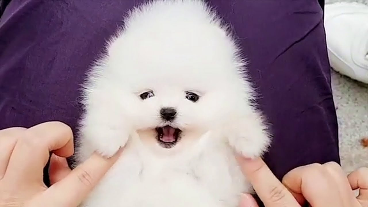 Happy Teacup Pomeranian Puppy Ball 😍💖🐶💖😍