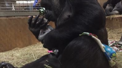 first-time-gorilla-mommy-cannot-stop-kissing-her-newborn-baby