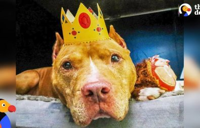 pit-bull-dog-who-spent-life-on-a-chain-finally-gets-to-be-a-dog