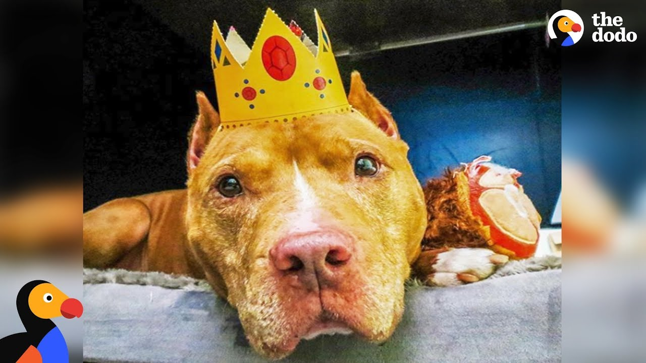 Pit Bull Dog Who Spent Life On A Chain Finally Gets To Be A Dog