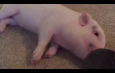 pickle-the-pig-in-a-rush-for-a-belly-rub